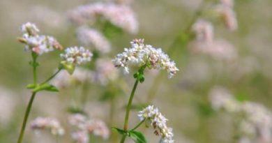 Broćika ili Ivanova trava: Pomaže kod problema s kožom, probavom, ali i plućima